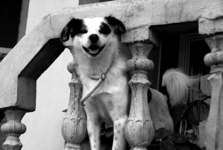 Bozo our Home Dog of Vidya Niwas !