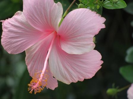 Pink Flowers Dharamsala