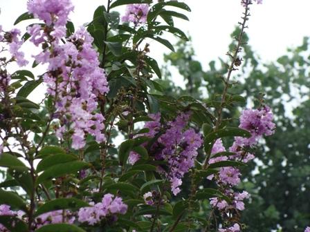 Dharamsala Purple Hues