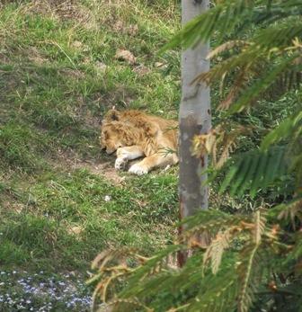 Lions India