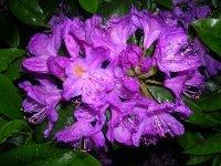 Alpine Flowers Kinnaur