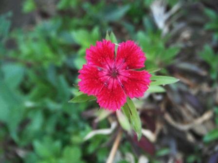 Pink Garden of Dharamsala