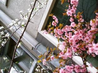 Spring Blossoms, Dharamsala