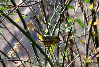 Himachal Birds