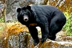 Himalayan Great Bear of Dharamsala