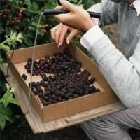 Black Berries India