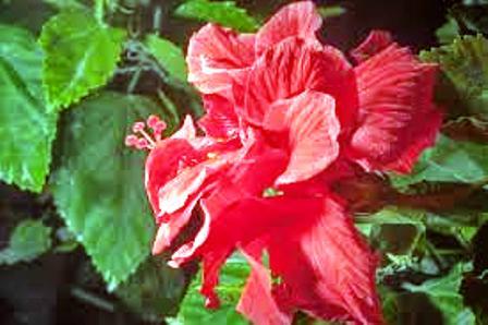 Cina Rose Blossoms , Vidya Niwas