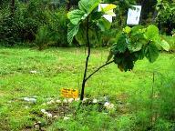 Himalayan Fig Tree
