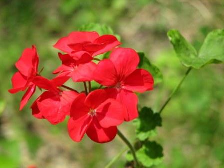 Flowers of Himalaya