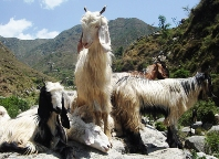 Gaddi Goats, Chamba Valley
