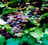 Grapes of Himachal