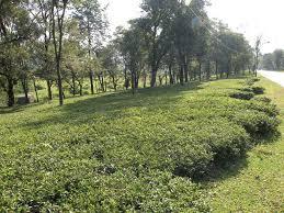 Tea Gardens of Dharamsala