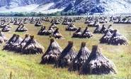 Tibet Harvest