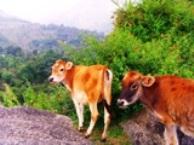 Himalayan Cow, Dharamsala