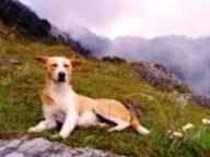 Himalayan Dogs, Dharamsala
