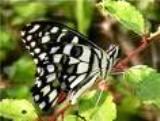 Dharamsala Butterflies