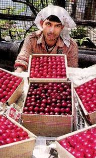 Red Cherries of Himalaya