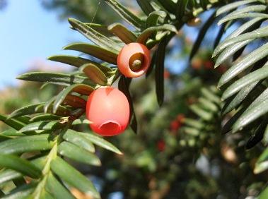 Himlayan Yew Plant