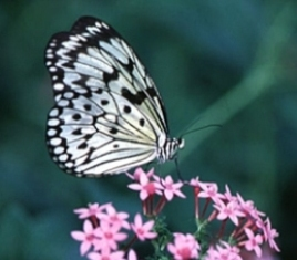 Dharamsala Butterfly