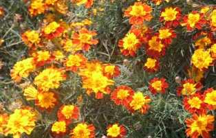 Himalayan Marigold, Dharamsala