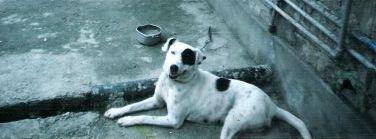 Dharamshala Dogs