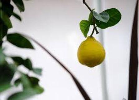 Lemon Flower India