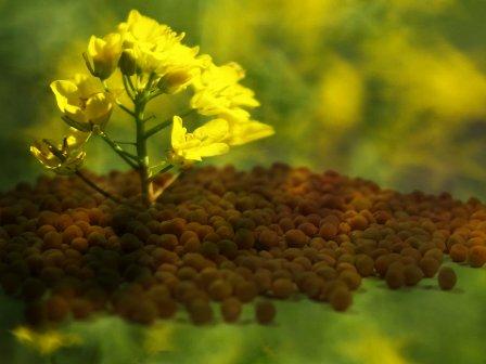 Mustard Life