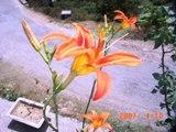 Orange Lily, Vidya Niwas