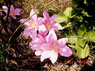 vidya niwas lilies