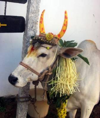 Pongol Festival India
