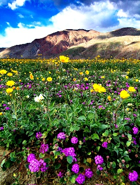 Himalayan Spring Flowers, Dharamsala