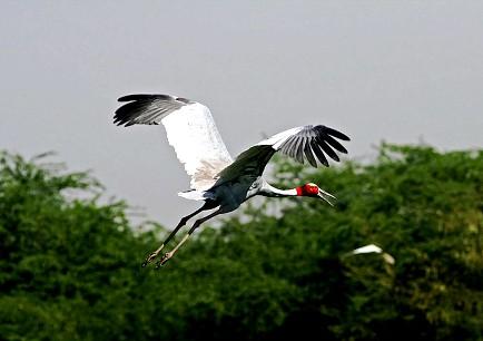 Sarus Cranes, India