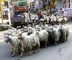 Sheep Day, Kangra