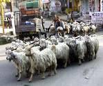 Sheep Day, Kangra