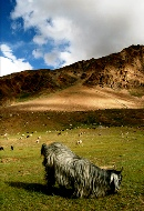 sheeps himalaya