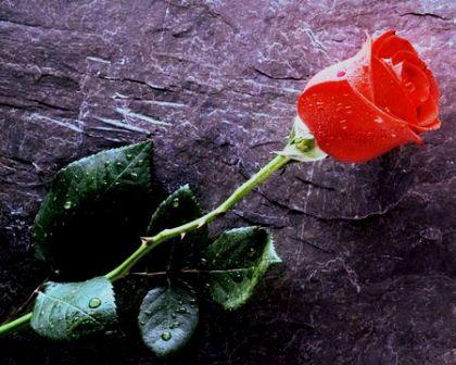 Himalayan Slate & Roses, Dharamsala