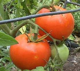 Himalayan Tomato