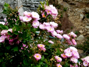 Green Rose Dharamsala