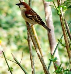 Tweety House Bird , Dharamsala
