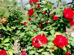 Vidya Niwas Flowers, Dharamsala