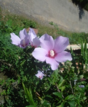Vidya Niwas garden