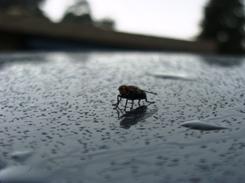 Beetles India