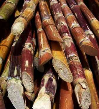 Sugar Cane India